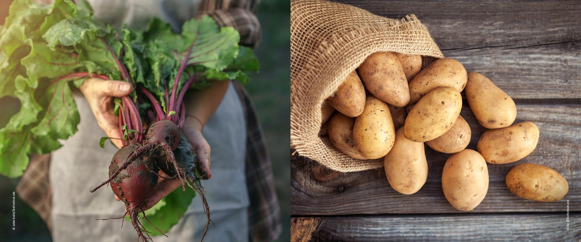 Knollen Rote Bete und Kartoffeln